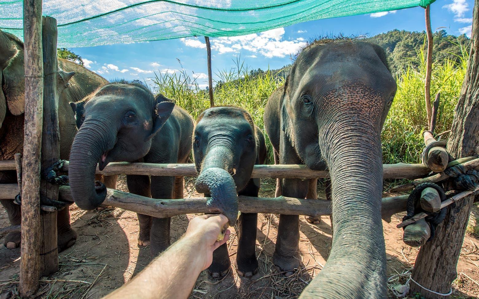 elephants eating bananas