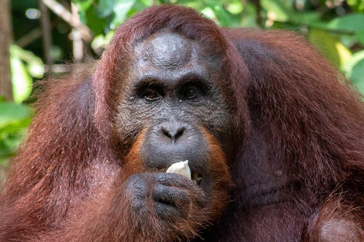 Borneo Orangutan Tour - Atlas close up