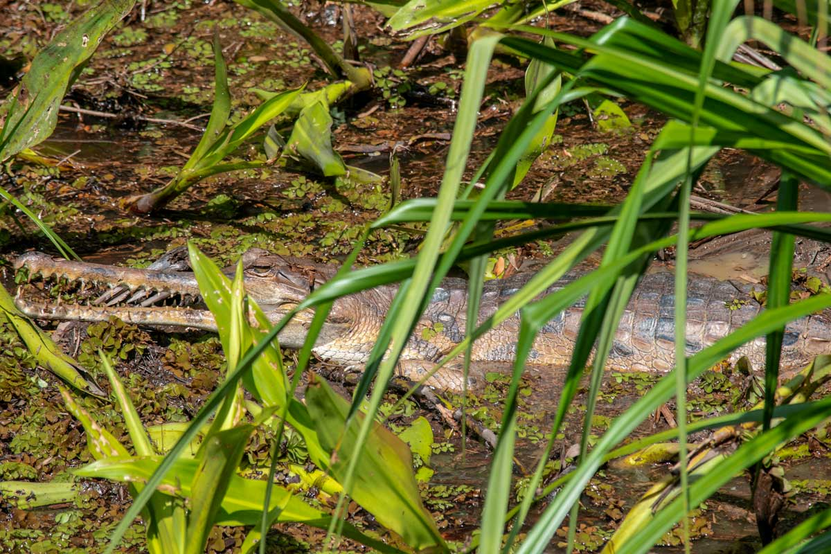 Borneo Orangutan Tour - crocodile