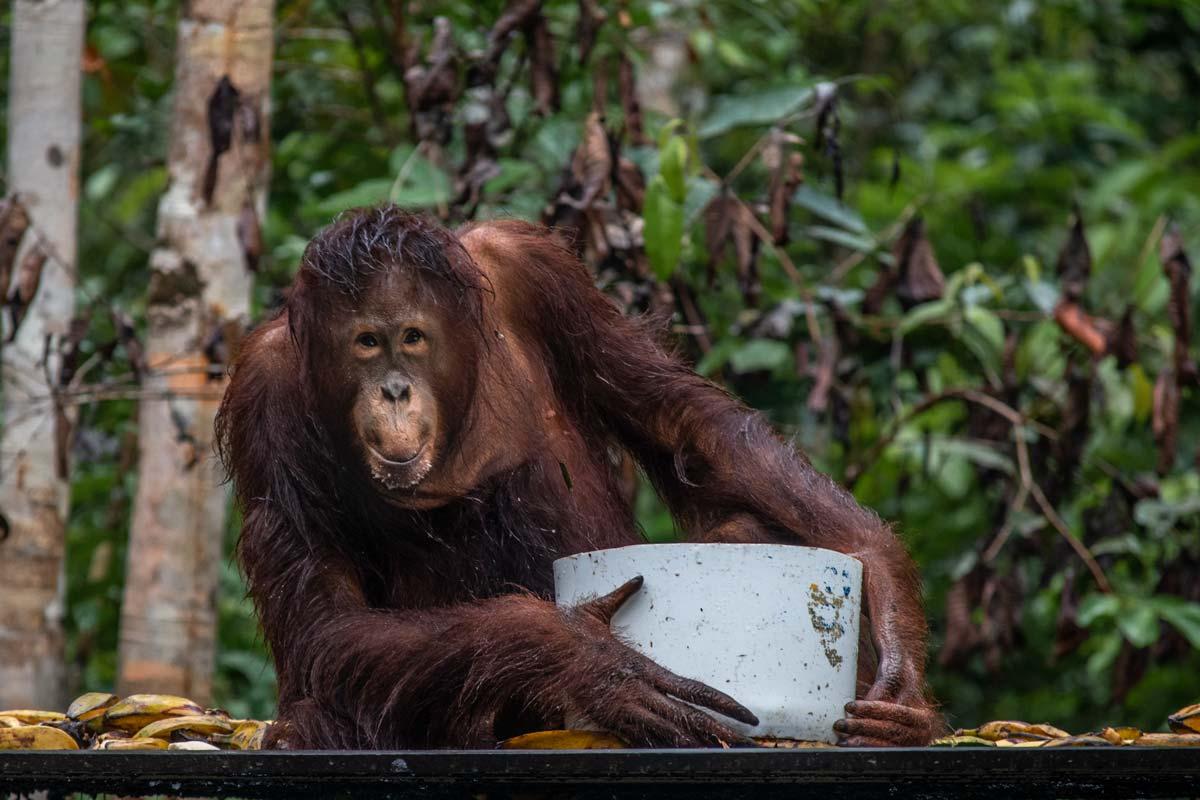 Borneo Orangutan Tour -Ornagutan facts
