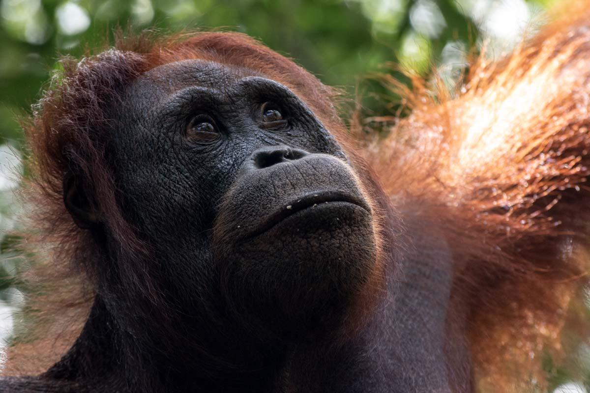 borneo orangutan tour - totally worth it