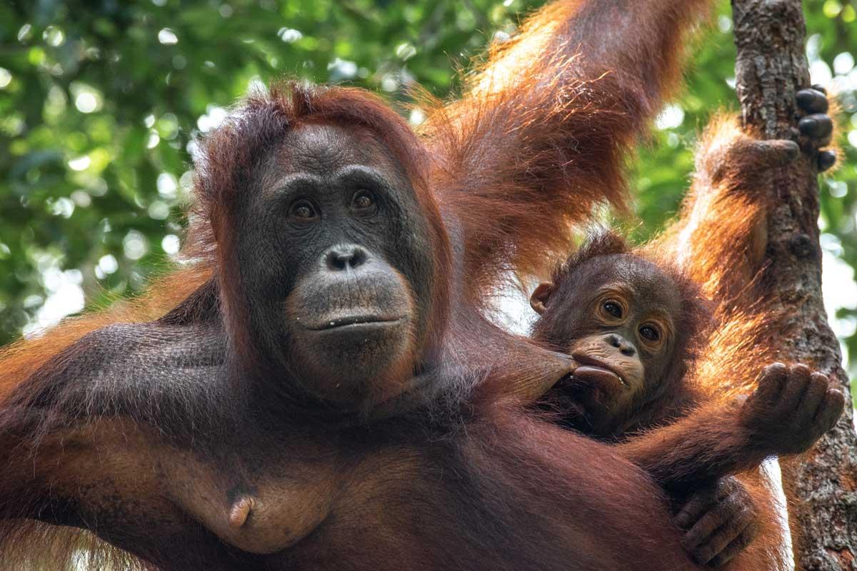 hungry orangutan baby