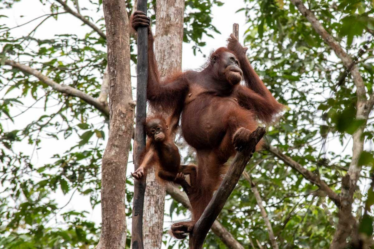 borneo orangutan tour - orangutans waiting for breakfast