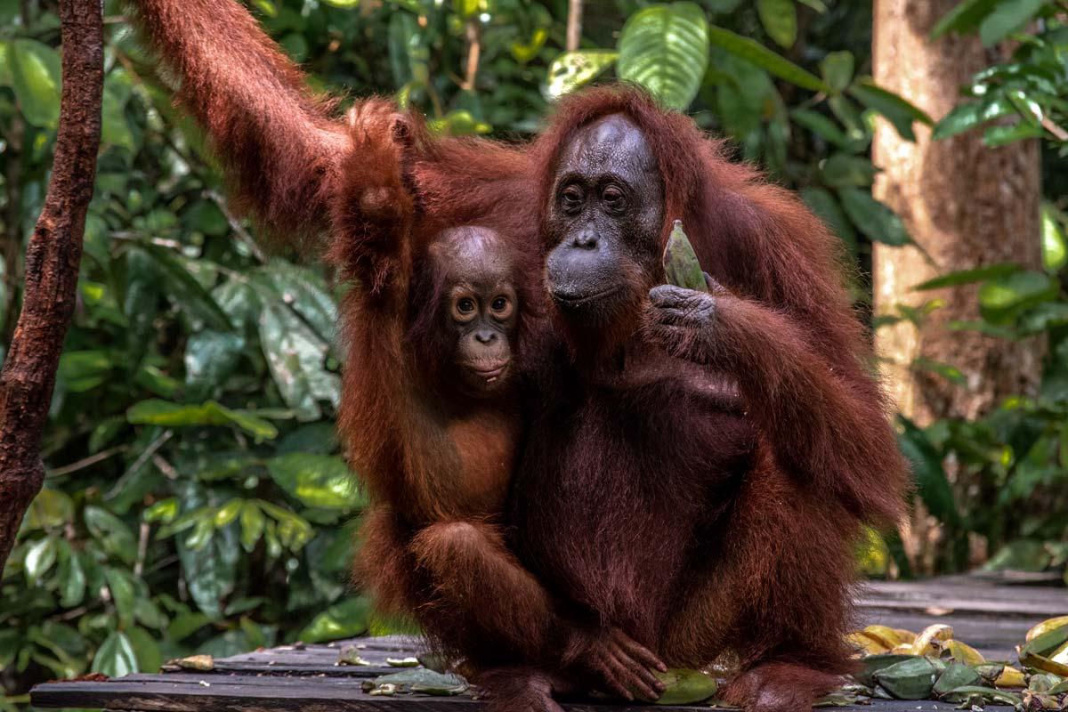 cute orangutan family