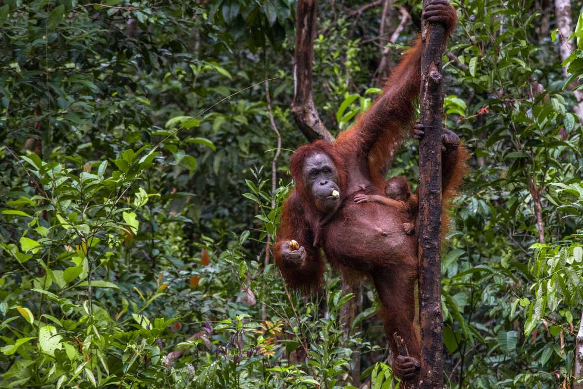 borneo orangutan tour day 3