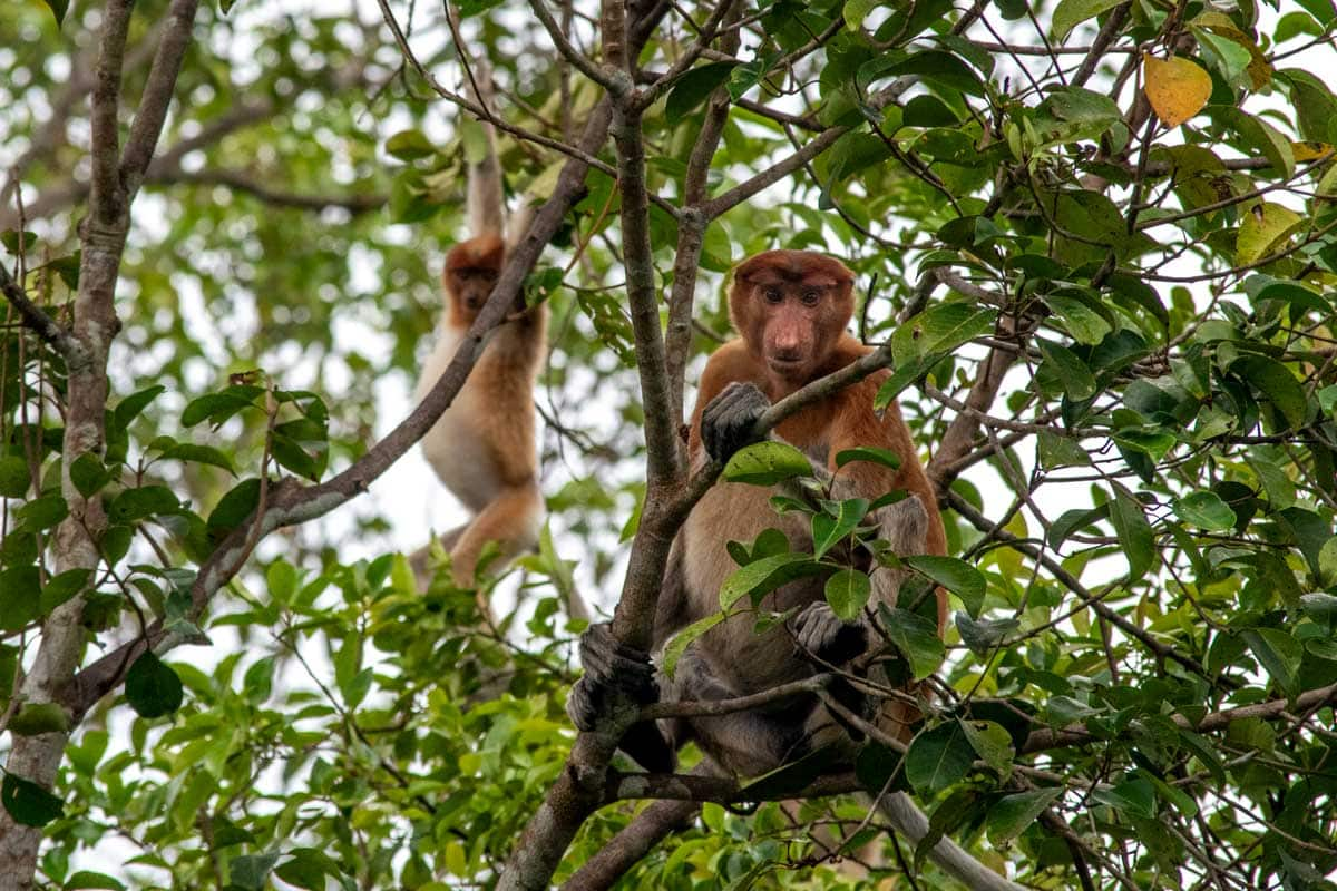Borneo Orangutan Tour - probosic monkeys