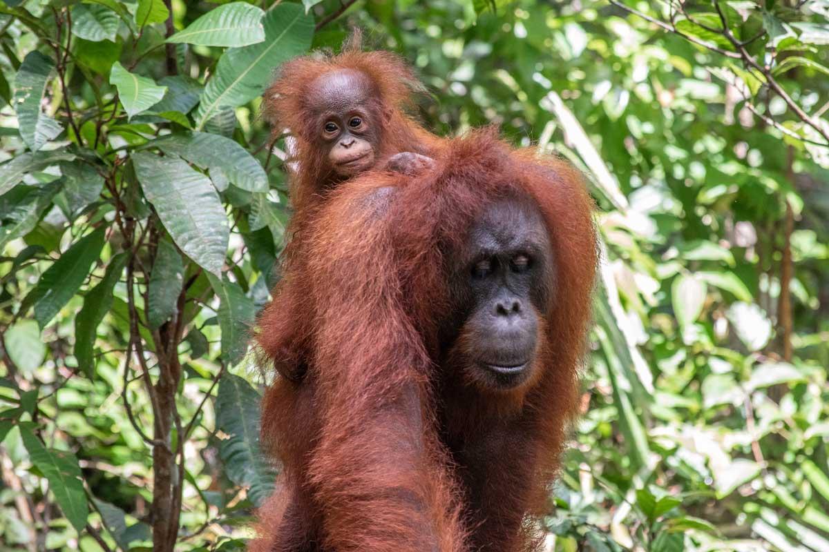 borneo-orangutan-tour--mother-and-a-baby