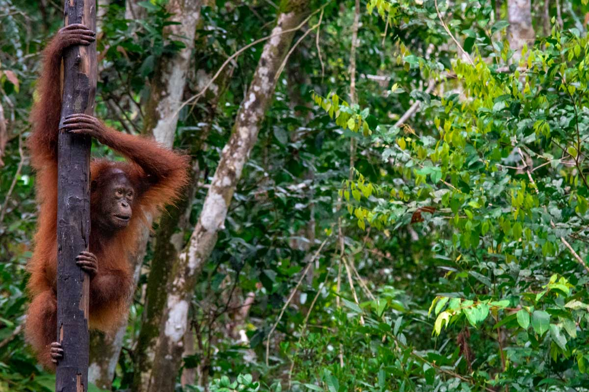 ornagutan swingin from the tree