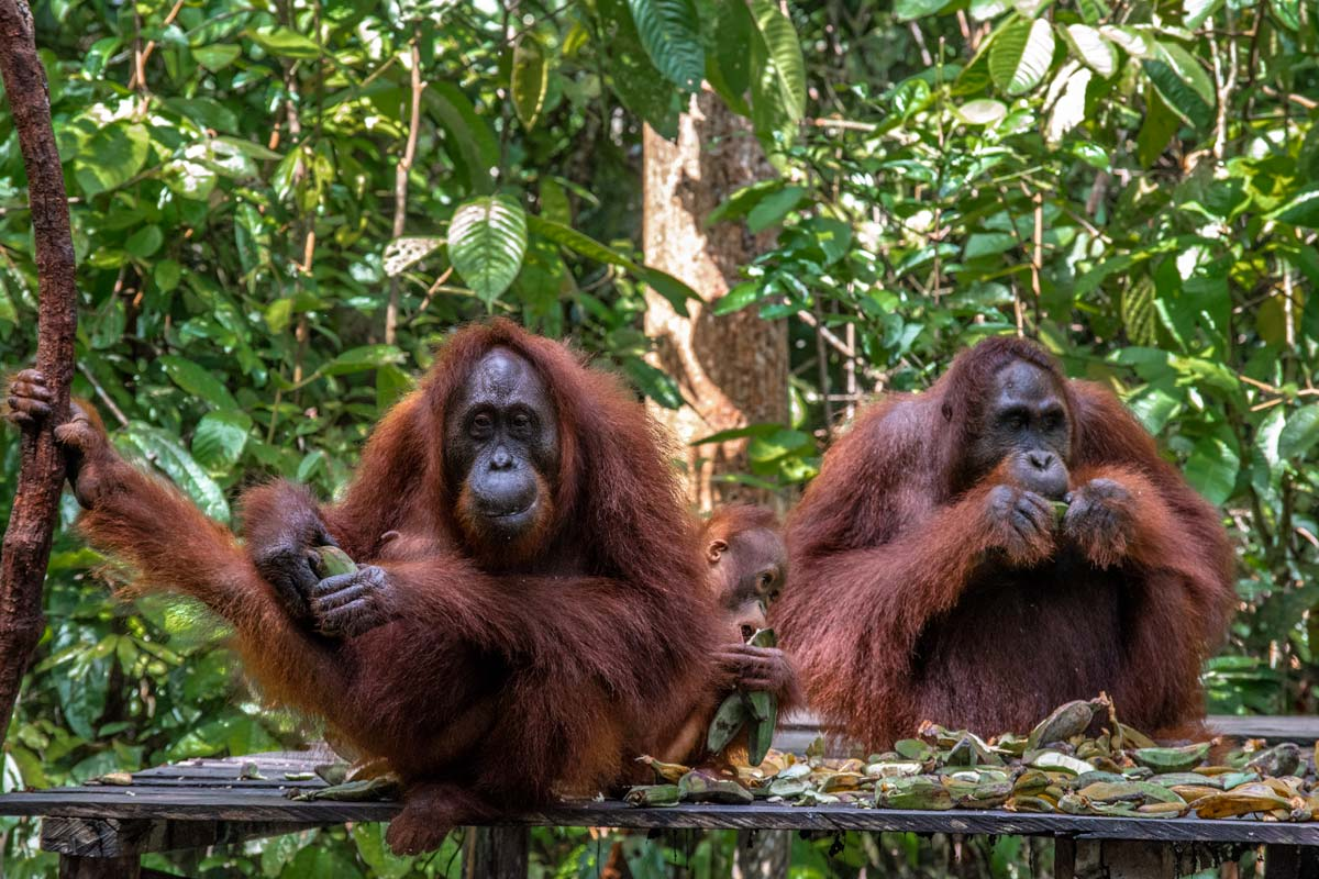 Borneo Orangutan Tour - orangutan facts