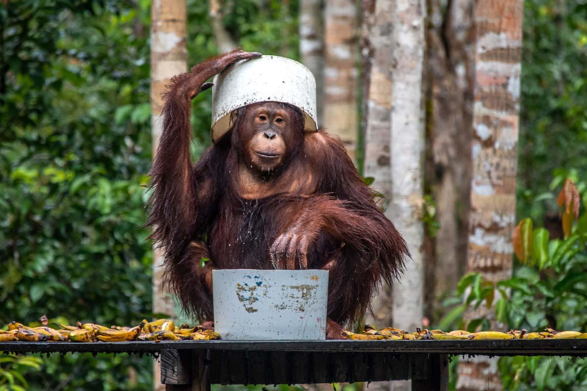 borneo tour - smart ape hides from the rain