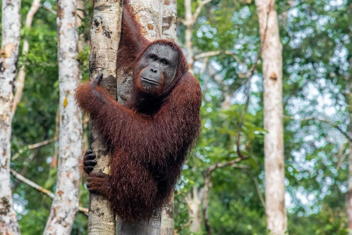 borneo-orangutan-tour-wet-grumpy-orangutan