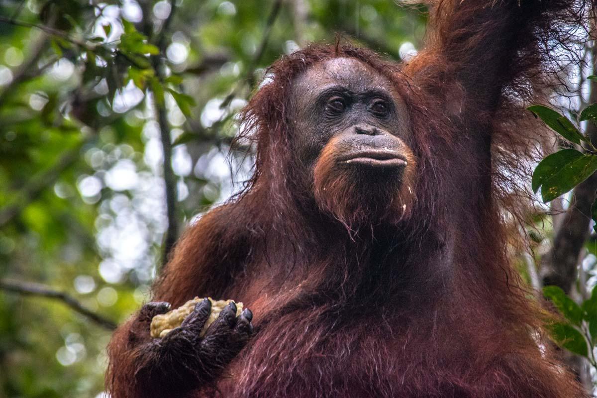 orangutan close up