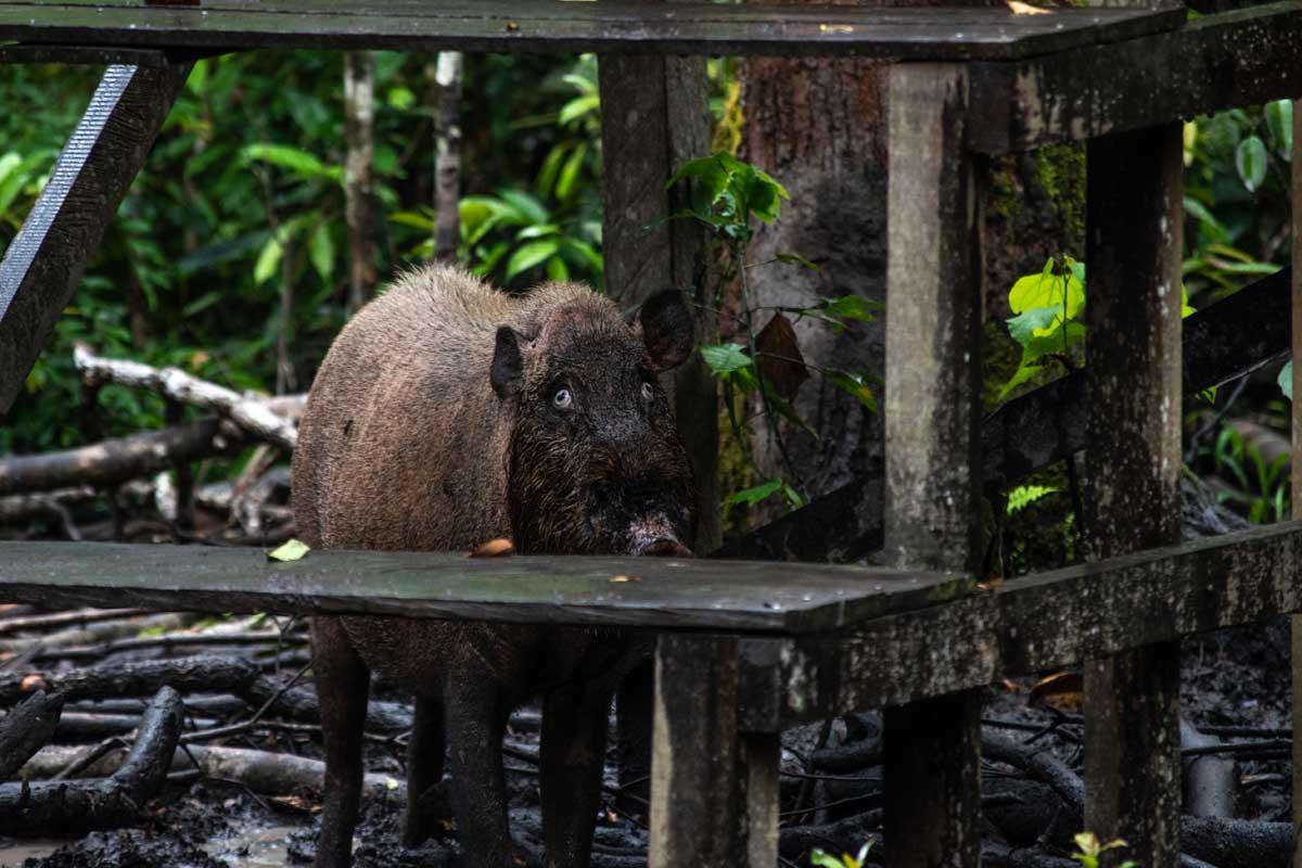 borneo boar