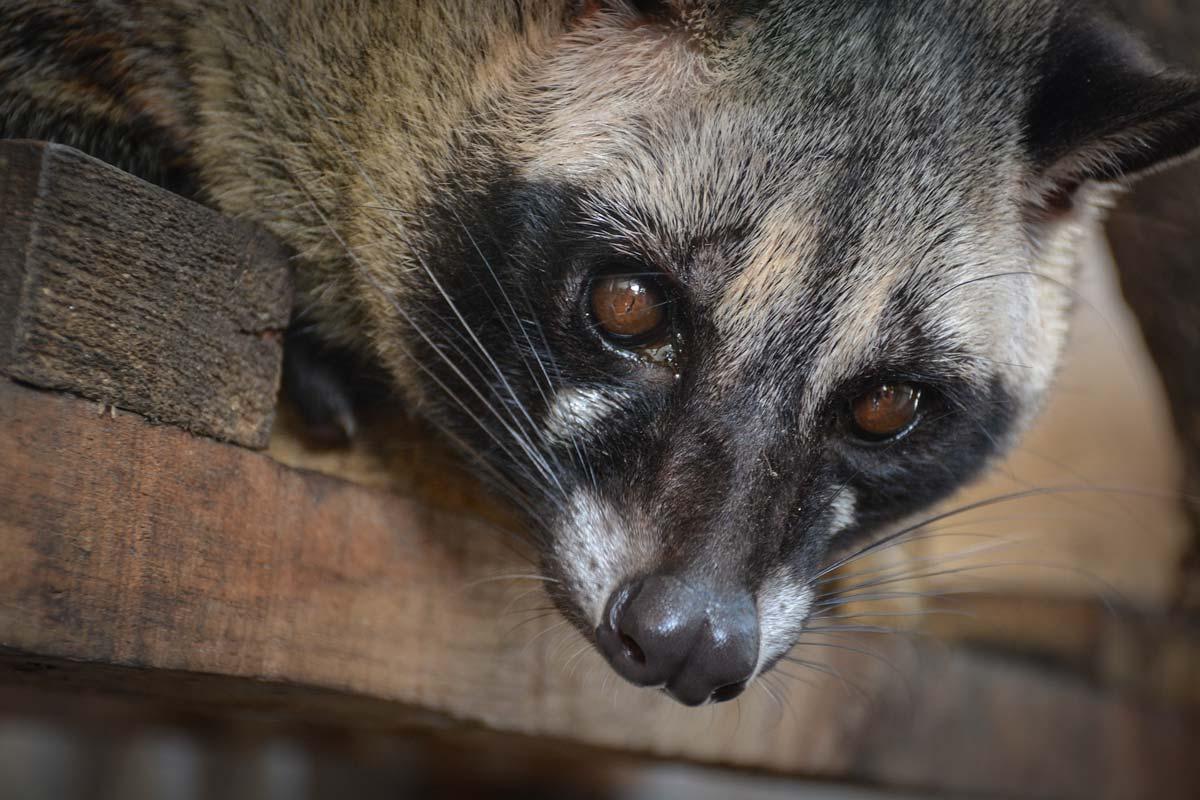 close-up-on-a-civet