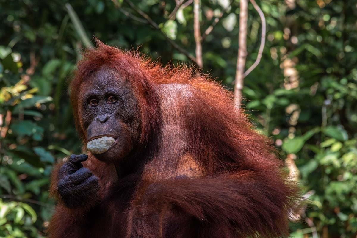 hungry orangutan in borneo