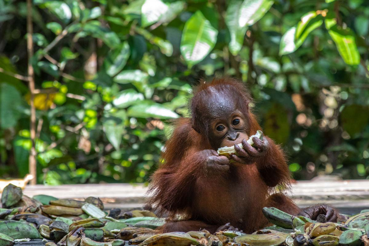 Borneo orangutan tour – What to expect and is it worth it?