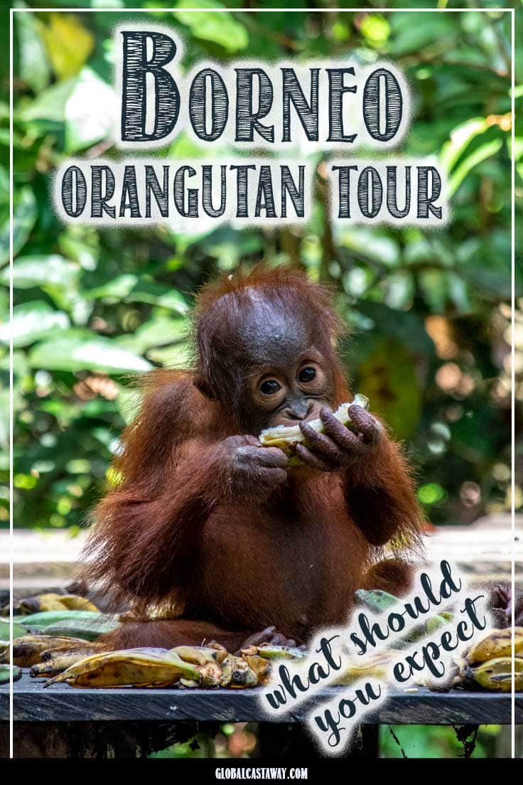 How to pick the perfect orangutan tour? What to expect from it and is it worth it? See in this day to day review of Borneo Orangutan Tours #ornagutan #borneo #travelborneo #ornagutantour #ornagutantourindonesia #travelindonesia