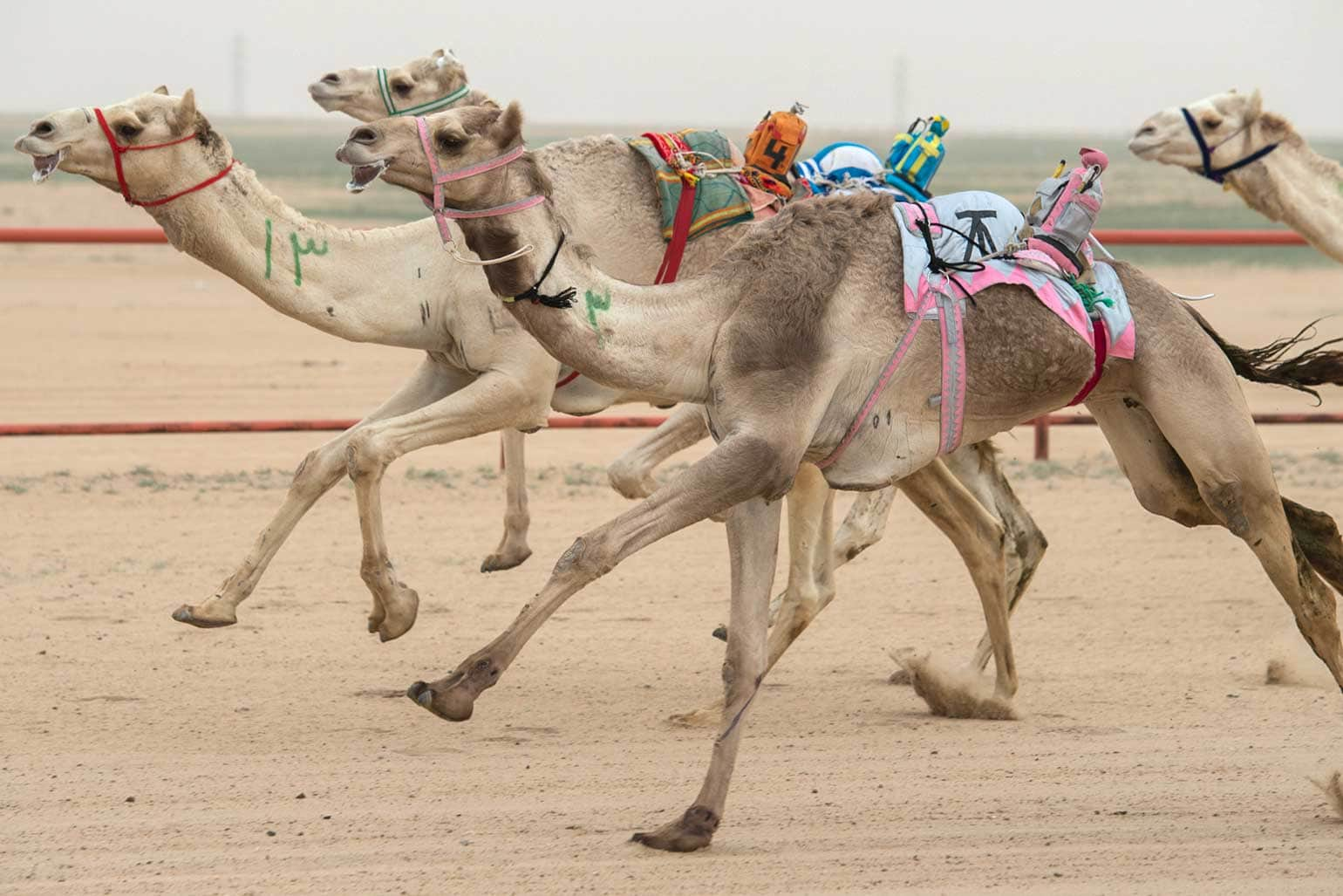 qatar facts-camel-races