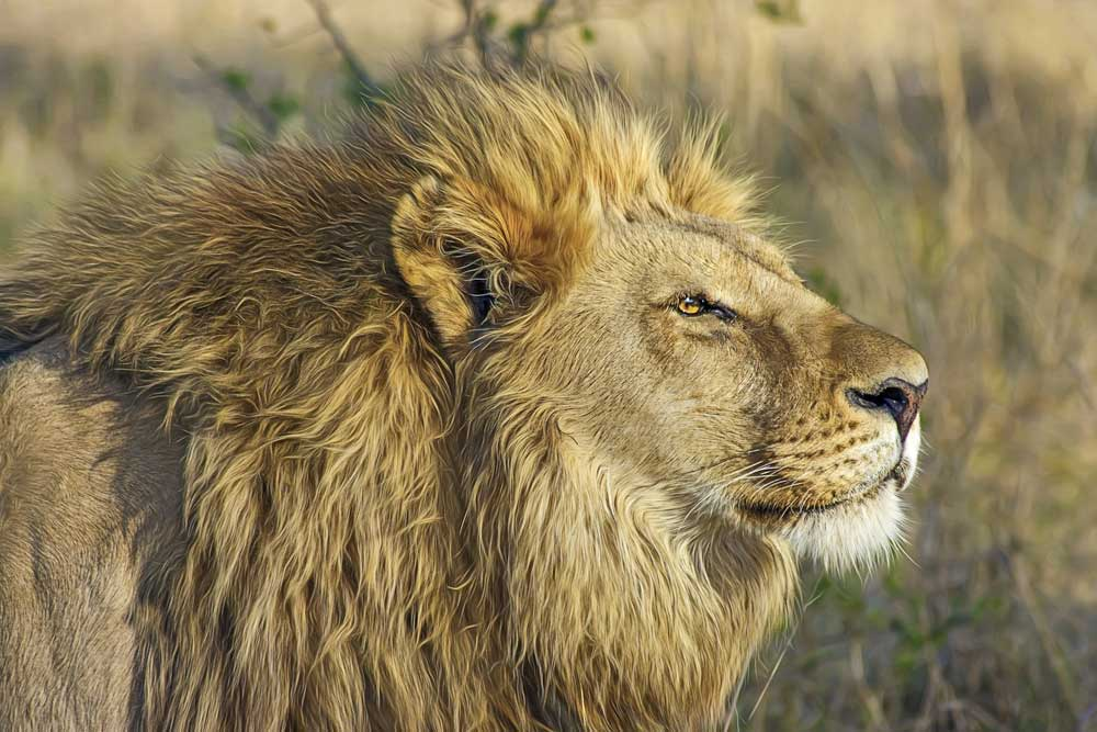 ultimate bucket list ideas - botswana lion