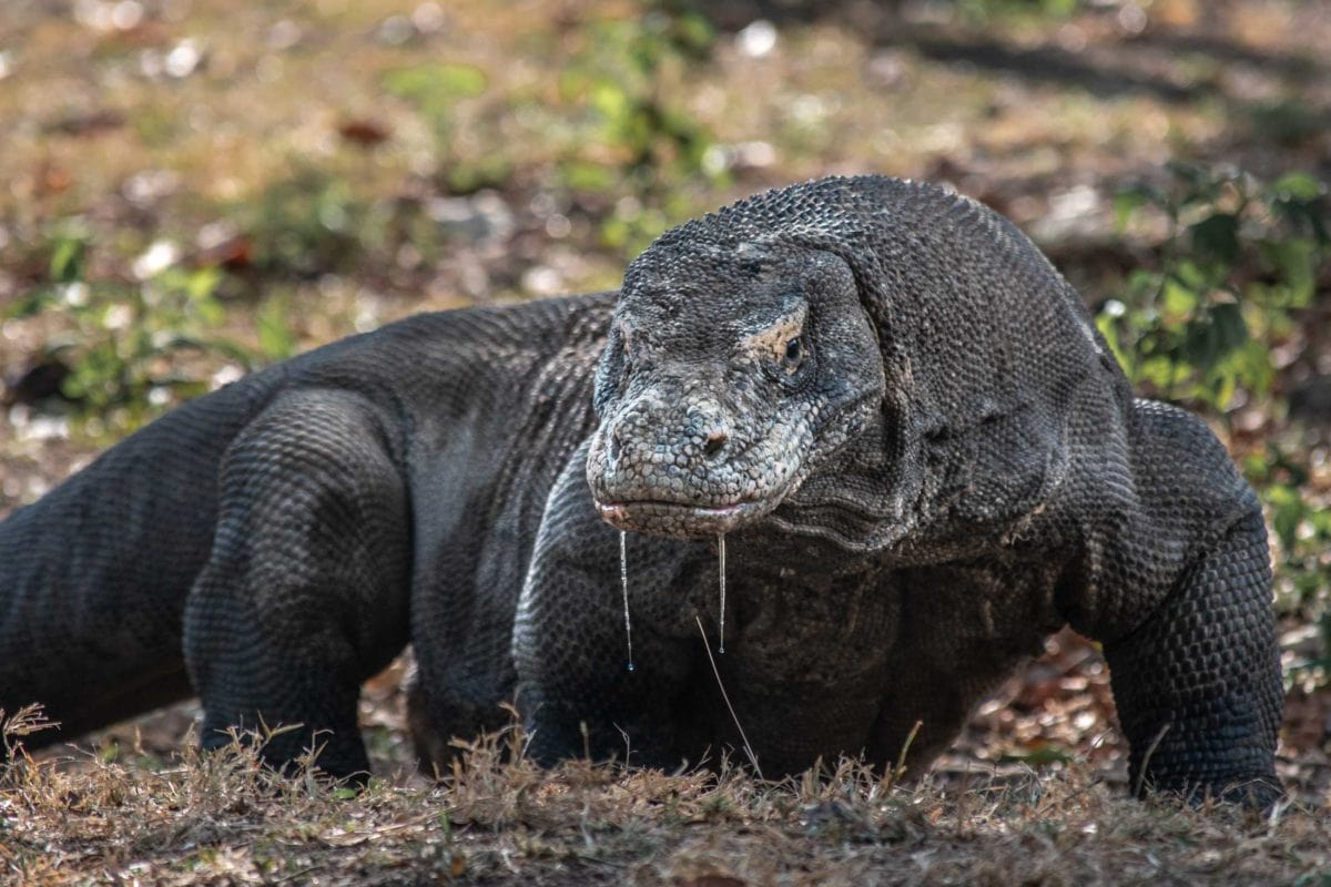what is indonesia famous for - komodo dragon close up
