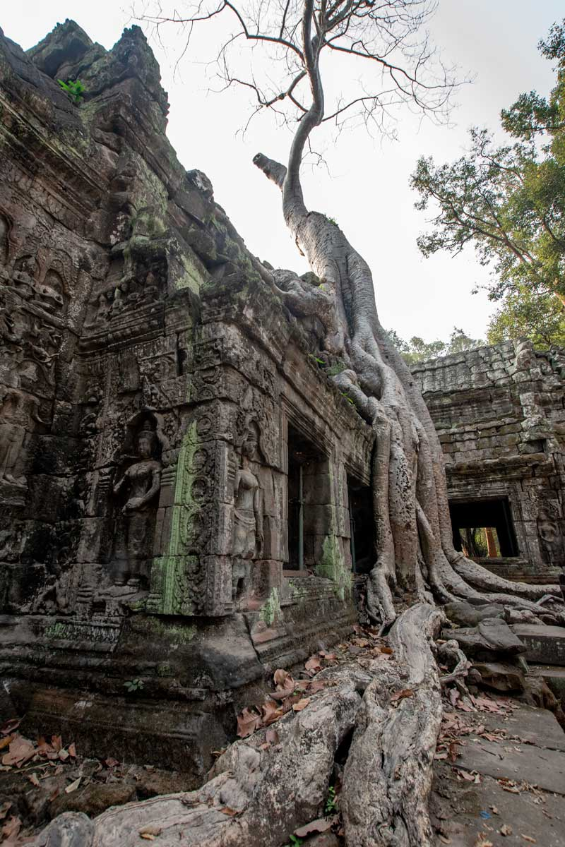 Famous tree of Ta Prohm