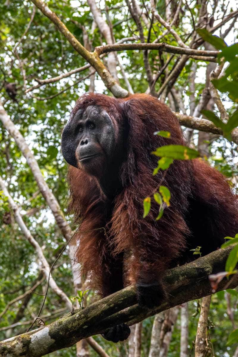large orangutan in borneo