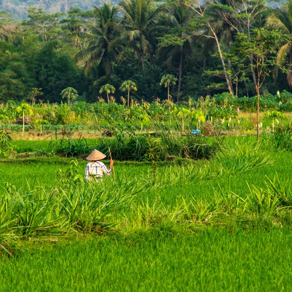 2 week Indonesia itinerary - rice farmer