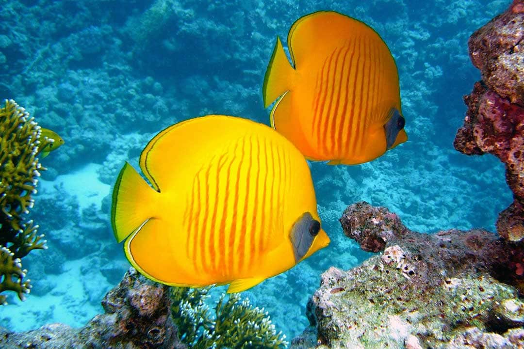 two-yellow-fish-underwater