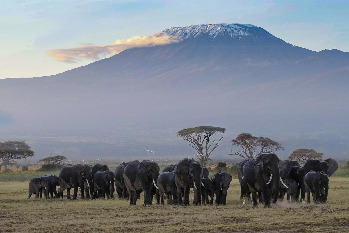 elephants-in-front-of-kilmanjaro