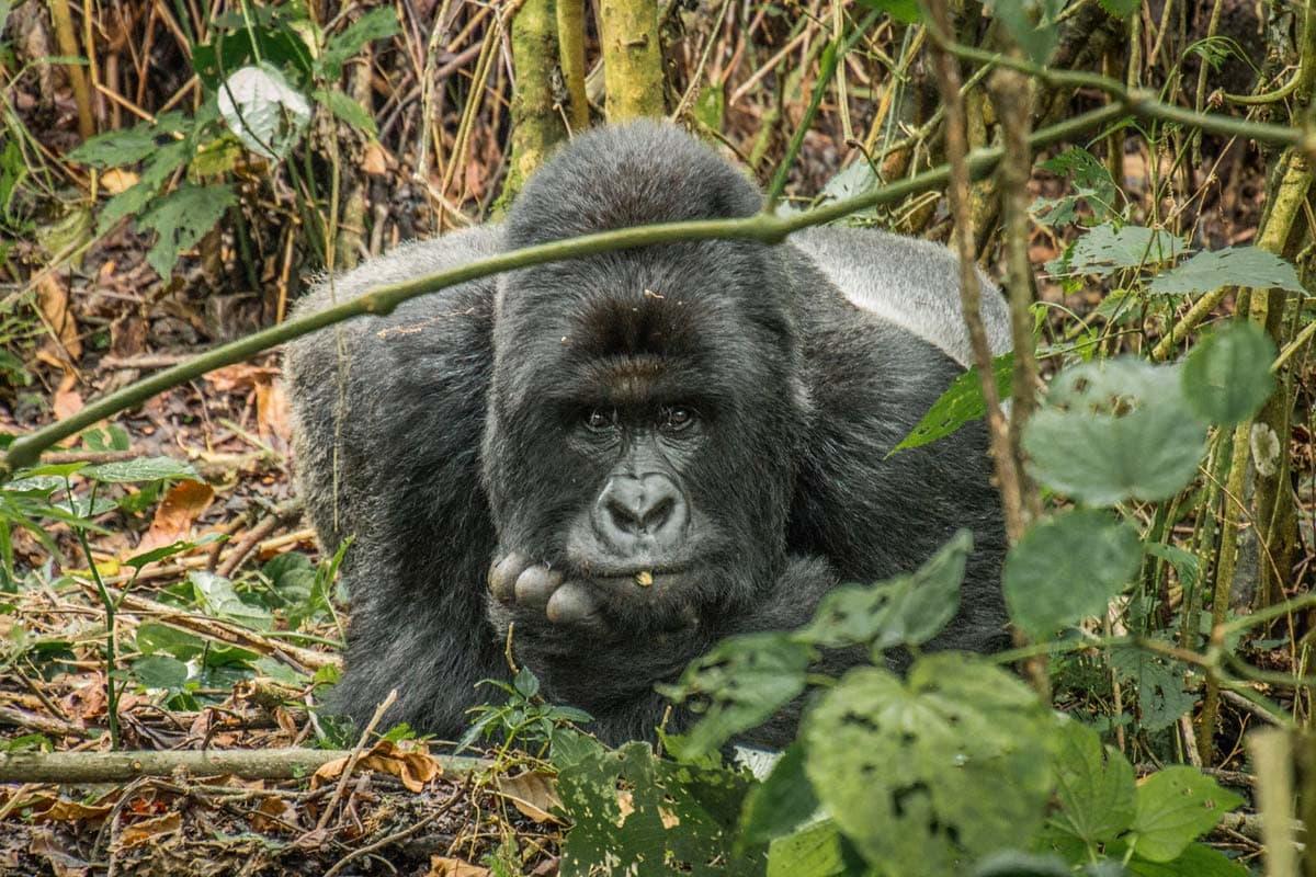kongo-gorilla