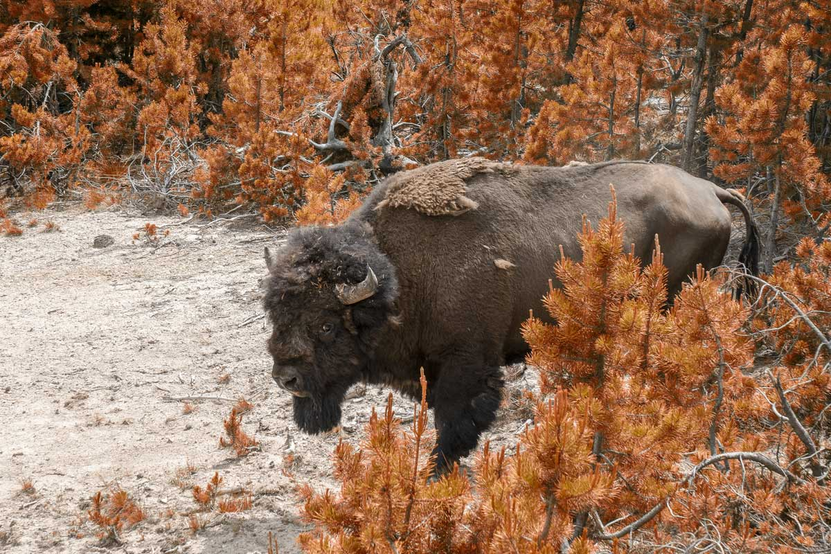 bison-in-the-middle-of-orange-plants