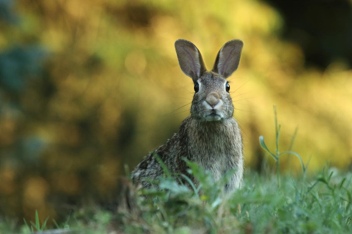 spanish-facts-rabbit-looking-alert