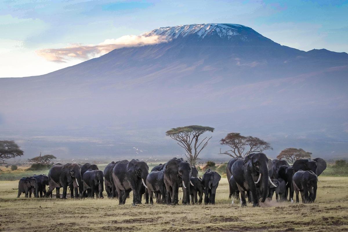 herd-of-elephants-in-front-of-kilimanjaro