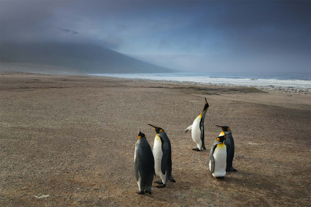 imperator-penguins-on-a-falkland-island-beach