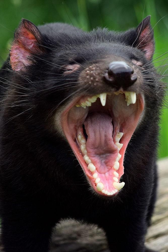 australia-landmarks-tasmanian-devil-yawing