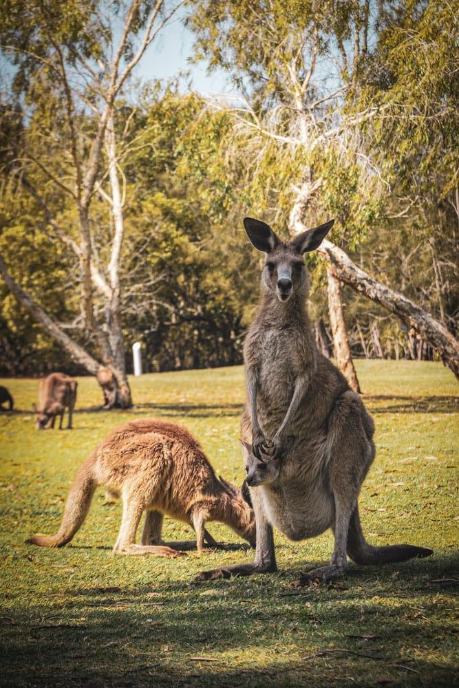 pair-of-kangaroos-walking-in-a-park
