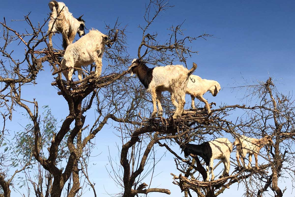 five-goats-up-in-a-tree