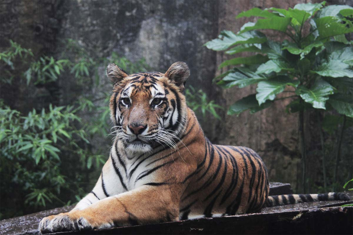 what-indonesia-is-famous-for-sumatra-tiger-watching-in-the-camera