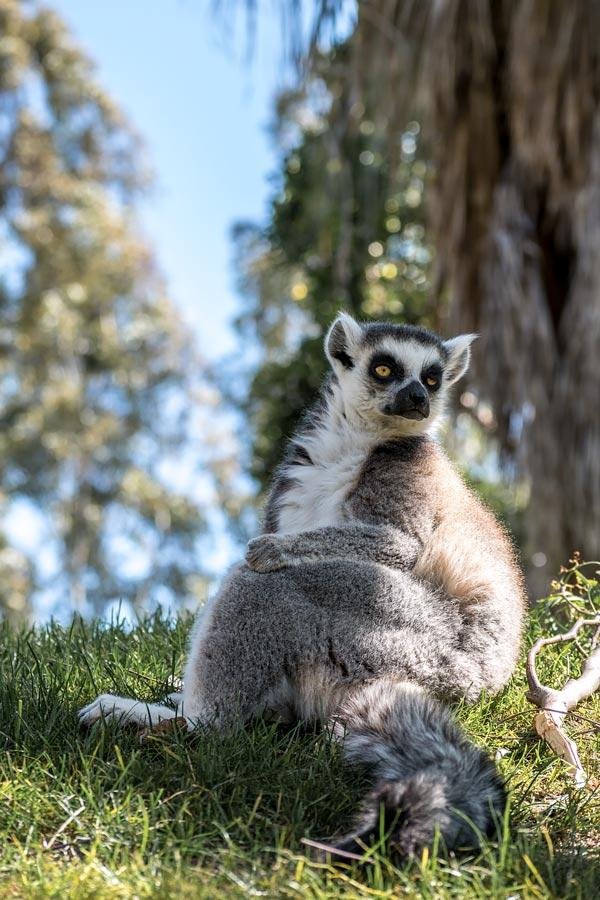 Ring Tail Lemur of Biopark, Valencia