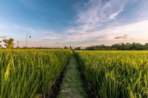 bali-photos---ubud-rice-terraces