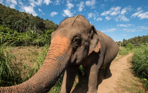 interesting-facts-about-chiang-mai---elephant