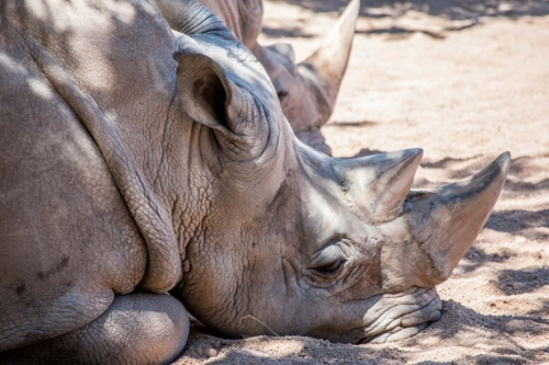 Three of the five rhinoceros species are listed as being critically endangered.